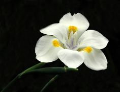 White Lily « flower pictures