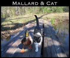 The 30 Most Inspiring Interspecies Friendships Of The Year Amitié animale insolite …… chat et canard Unusual Animal Friendships, Unusual Animals, Animals Beautiful, Funny Animal Memes, Cat Memes, Funny Animals, Cute Animals, Funny Bird, Funny Cats