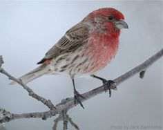 House Finch - Male (photo by Jack Bartholmai)