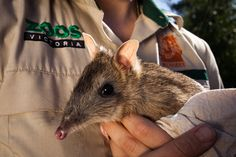 Even though the Eastern Barred Bandicoot has one of the shortest gestation periods of any mammal, (females are pregnant for just 12.5 days) they are still considered extinct in the wild. http://www.zoo.org.au/werribee/animals/eastern-barred-bandicoot