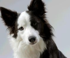 Speciální výstava psů s CAC - border kolie - Kalendář akcí | www ...