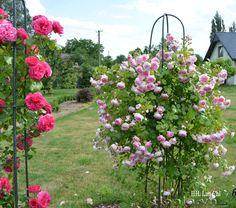 Hoa hồng leo Lan Chi 57 Đây là giống hoa hồng đức được giới thiệu lần đầu vào năm 2005 .  Hoa hồng Lan chi tuy cánh thưa nhưng lại cực sai hoa với dáng khum bông trứng  buông rủ