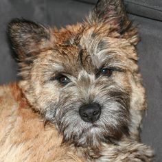 He´s growing so fast! #Cairnterrier #Cairn