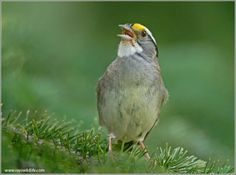 White-throated Sparrow by Ray