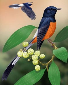 White-rumped Shama - found in Hawaii and SE Asia, beautiful call Pretty Birds, Beautiful Birds, Animals And Pets, Cute Animals, Paludarium, Black Wings, Animal 2, Exotic Birds, Little Birds
