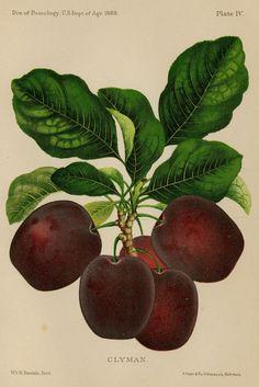 Matted Antique Fruit Print Clyman Plum by AntiquePrintBoutique