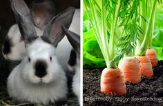 Growing a rabbit garden is a great way to give your meat rabbits a natural supplement to their pellets and can even be a regular feed if done properly.
