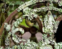 """This 8x10 photo """"Lichen and fleur de lis scroll"""" by @onepointsixphoto intrigues me. The wrought iron work is as beautiful now as it was when it was first created."""