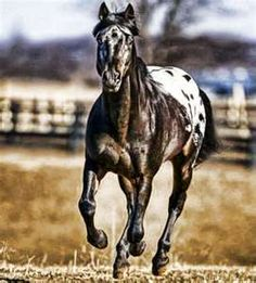 Always wanted a black Appaloosa