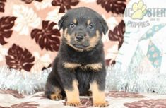 #Rottweiler #Charming #PinterestPuppies #PuppiesOfPinterest #Puppy #Puppies #Pups #Pup #Funloving #Sweet #PuppyLove #Cute #Cuddly #Adorable #ForTheLoveOfADog #MansBestFriend #Animals #Dog #Pet #Pets #ChildrenFriendly #PuppyandChildren #ChildandPuppy #LancasterPuppies www.LancasterPuppies.com Rottweiler Breeders, Rottweiler Puppies For Sale, German Rottweiler, New Puppy, Puppy Love, Mans Best Friend, Best Friends, Lancaster Puppies, Feeling Lonely