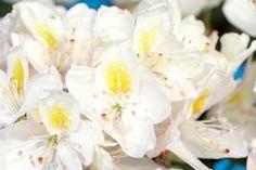 Rhododendron 'Madame Masson'    Le rhododendron 'Madame Masson' est à feuillage persistant, avec de magnifiques fleurs blanches. Ces fleurs ont un cœur jaune. Le feuillage vert foncé se marie bien avec la couleur des fleurs. Cette espèce fleurit de mai à juin.