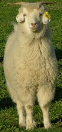 #goatvet likes this photo of an Australian cashmere goat from the Kassadyn Cashmere stud website
