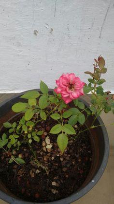Flor rosa dois tons