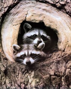 """"""" In other tales, the raccoon played the role of the trickster which outsmarts other animals, like coyotes and wolves."""""""