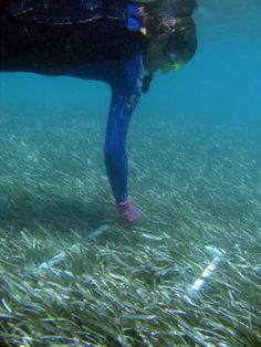 Coral rescue in the florida keys national marine sanctuary seagrass makes homes for new baby fish monitoring lets us know how its baby fishflorida keysnew babiesenvironmentparadisethe sciox Images