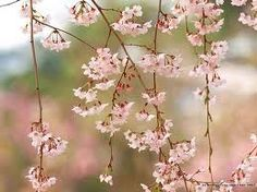 blossoms in spring - Google Search