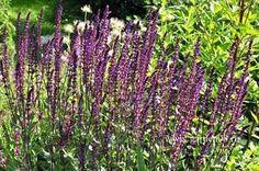 Лучшие многолетники.  Шалфей дубравный (Salvia nemorosa) – потрясающий аромат.Цветет на протяжение всего лета, начиная с июня. Растет даже на бедных песчаных почвах. Используется в самых разных цветниках, в том числе и в миниатюрных – так как высота этого красивого многолетника небольшая (30-50 см).  Лучшие сорта шалфея: 'Blauhugel' (синие соцветия, высота 50 см), 'Ostfriesland' (фиолетовые соцветия, высота 40 см.), 'Markus' (фиолетово-синие соцветия, высота 30 см).