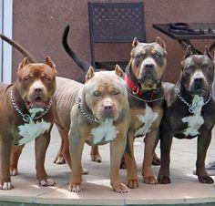 Pit bulls, Love those Puppies!
