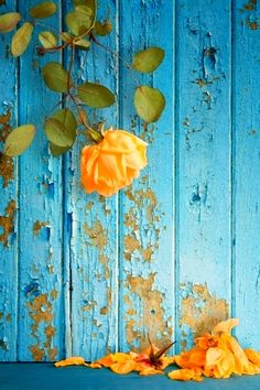 View top-quality stock photos of Wilted Rose Shedding Petals Against Peeling Painted Wall. Enchanted Rose, Happy Diwali, Wilted Rose, Rosen Tattoos, Peach Aesthetic, Rosa Rose, Color Balance, Disney Marvel, Turquoise