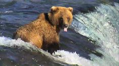 Beautiful Lip Fisher expressing her opinion of the people on the platform. Katmai National Park, Alaska