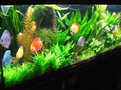 discus aquarium - Google Search