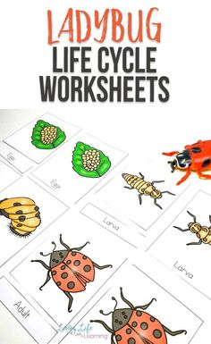 Explore your own backyard and learn more about ladybugs with this fun ladybug life cycle worksheets for kids, find out all about the parts of a ladybug too. Printable Preschool Worksheets, Kindergarten Worksheets, Worksheets For Kids, Free Printables, Biology Experiments, Biology Lessons, Insects For Kids, Homeschool Science Curriculum, Homeschooling