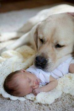 Golden Retriever protecting a New Born Baby