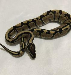 Co-Dominant Ball Python Morphs - A 2 Z Reptiles - Look at some snakes! Ball Python Morphs, Black Magic, Black Laces, Back To Black, Snakes, Reptiles, A Snake, Snake