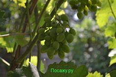 Выращивание винограда, борьба с вредителями