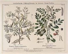 Image result for indigofera tinctoria plant