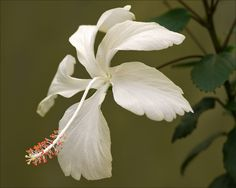 White Hibiscus.The Hibiscus comprises plants also commonly called hibiscus and less widely known as rosemallow or jamaica. The large genus of about 200–220 species of flowering plants in the family Malvaceae native to warm, temperate, subtropical and tropical regions throughout the world.