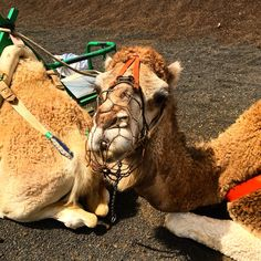 What to do in Lanzarote...camel in Timanfaya National Park, Canary Islands