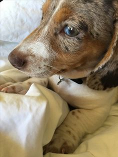 Winston, miniature dapple piebald dachshund