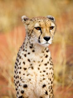 Sitting Cheetah at Africa Project, Namibia