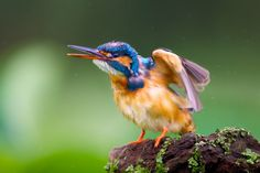 Common Kingfisher (Alcedo atthis) also known as Eurasian Kingfisher or River Kingfisher by Elroyie David on 500px