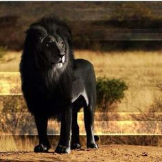 Melanism is the opposite of albinism. Albinism is the lack of pigmentation and melanism is a dark pigment excess, that turns skin black. (Lioness' find them more attractive) Animals And Pets, Funny Animals, Cute Animals, Wild Animals, Black Animals, Nature Animals, Beautiful Creatures, Animals Beautiful, Melanism