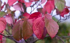 Blumen-Hartriegel Cornus 'Venus'