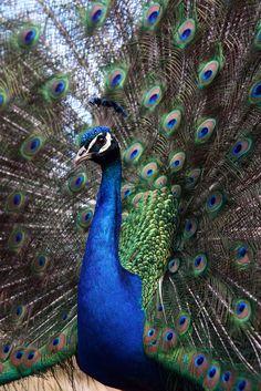 Peacock 1 | Flickr - Photo Sharing!