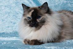 2 Januari 2016. 5 Jaar en 1 maand oud. Ragdoll Cats, Animals, Gatos, Animales, Animaux, Animal, Cat, Animais, Kitty