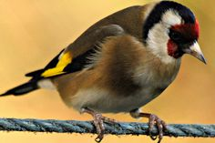 Goldfinch on a rope