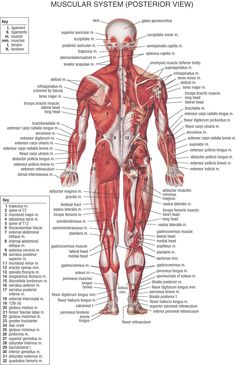 Muscular System, Posterior View