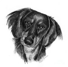 Long-haired Dachshund Drawing by
