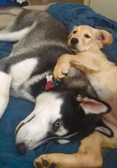 Milo the Husky and Harley the Golden Retriever
