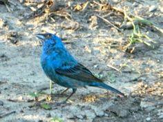 Blue Birds In Illinois Blue Bird Birds Bird Watching