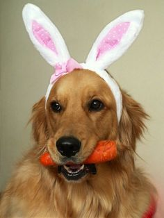 Golden Retriever Easter Bunny