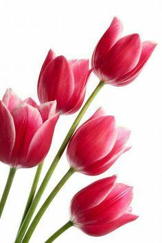 "Tulip Still Life Flower Photography Print ""Tulips No. Red Tulips, Tulips Flowers, Flowers Nature, Exotic Flowers, Amazing Flowers, Pretty Flowers, Spring Flowers, Purple Roses, Tulip Flower Drawing"