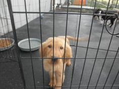 No longer available. Butch is an adoptable Golden Retriever Dog in St. Paris, OH. Butch is looking for his forever home, a gorgeous, healthy and active young pup who will be a wonderful addition to a family as a obedience...