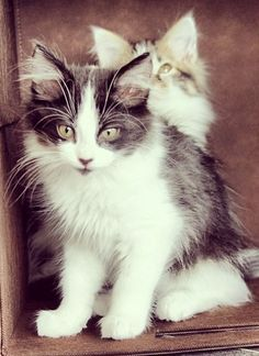 Are you a #cat expert? See if you know at what age meowing friends should switch from a kitten formula to adult food.
