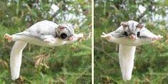 Afbeeldingsresultaat voor sugar glider natural habitat