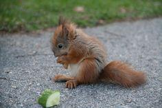 Baby Squirrel by Markus Viljanen